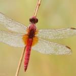 Feuerlibelle-Männchen-500-Home