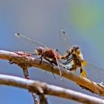 große Moosjungfer Paarung_Web