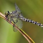 kleine Zangenlibelle weibchen