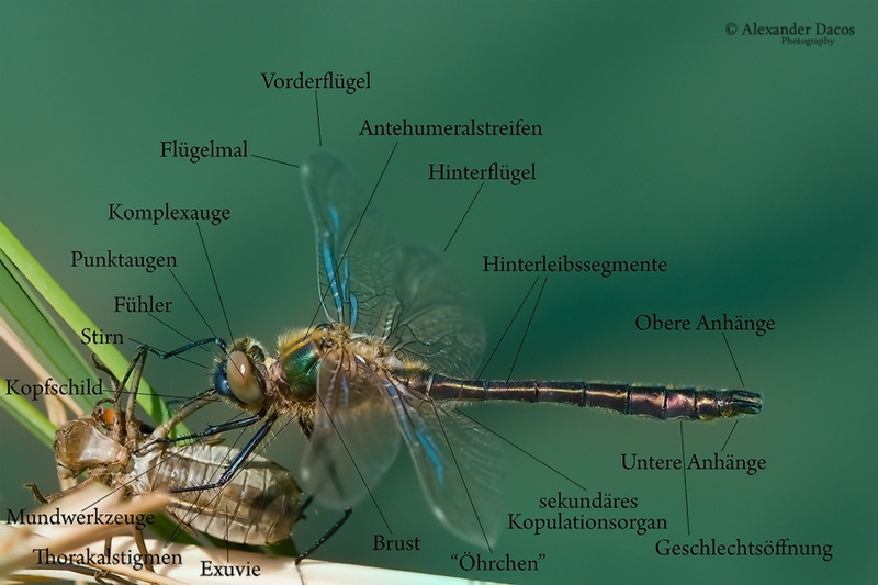 libellenaufbau - körperbau